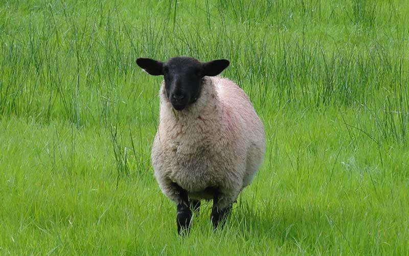 Dorper Schafe